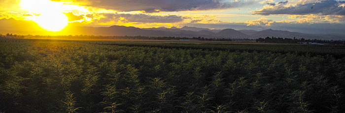 Colorado CBD Hemp Field
