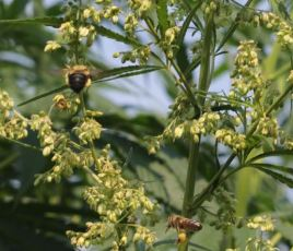 Honey Bee and Bumble Bee with Hemp